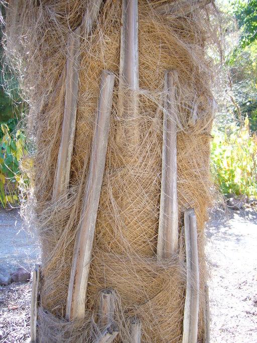 Parajubaea cocoides image
