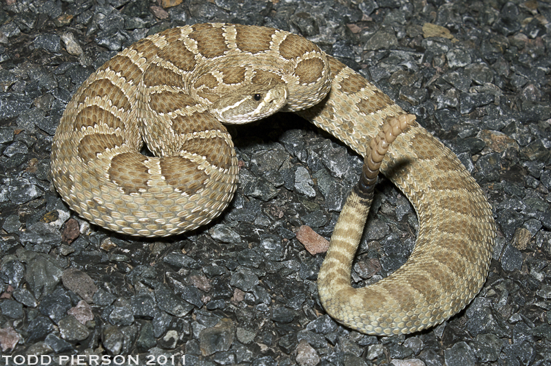 Crotalus viridis | The Reptile Database