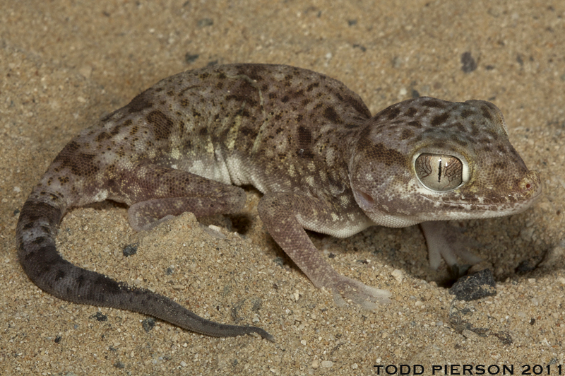 Stenodactylus leptocosymbotes | The Reptile Database