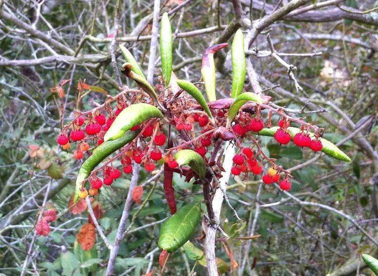 Comarostaphylis diversifolia ssp. diversifolia