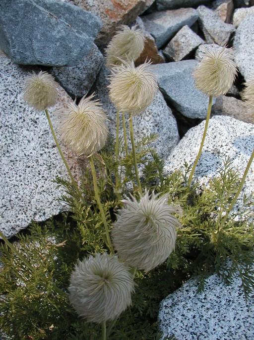 Anemone drummondii