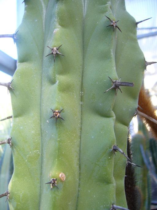 Myrtillocactus geometrizans image