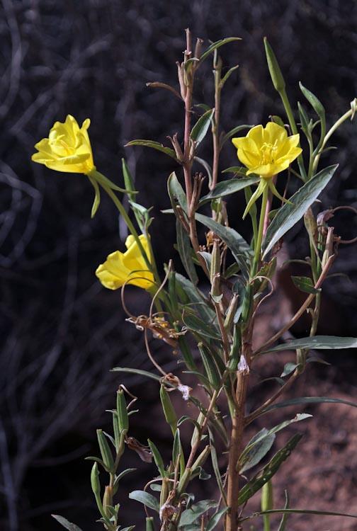 Oenothera longissima