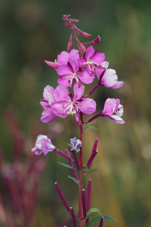 Chamerion latifolium