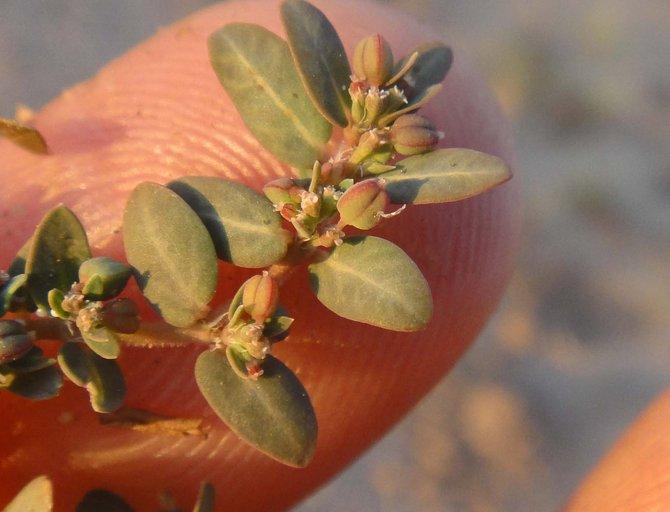 Euphorbia abramsiana