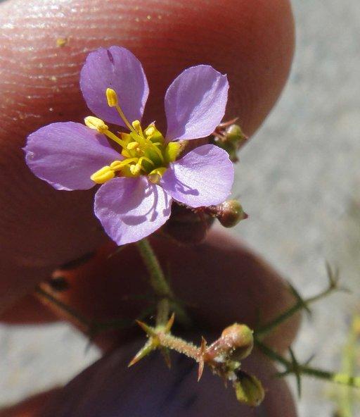 Fagonia pachyacantha