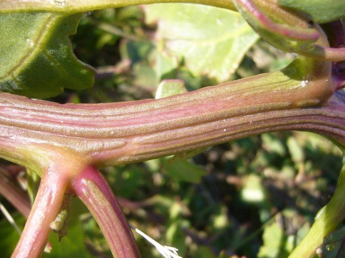 Chenopodium macrospermum