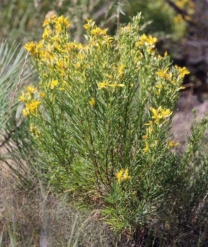 Ericameria nana