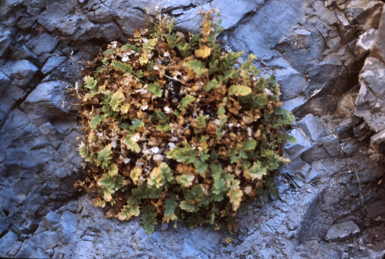 Ivesia arizonica var. arizonica