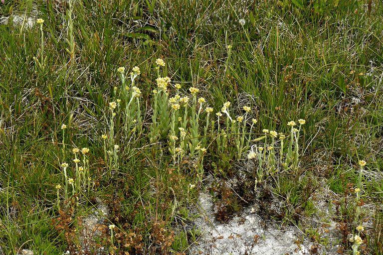 Pseudognaphalium thermale