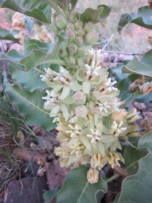 Asclepias nyctaginifolia