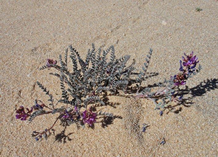 Astragalus lentiginosus var. variabilis
