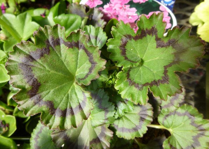 Pelargonium Xhortorum