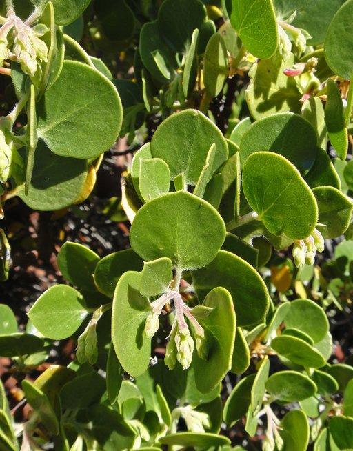 Arctostaphylos parryana ssp. parryana