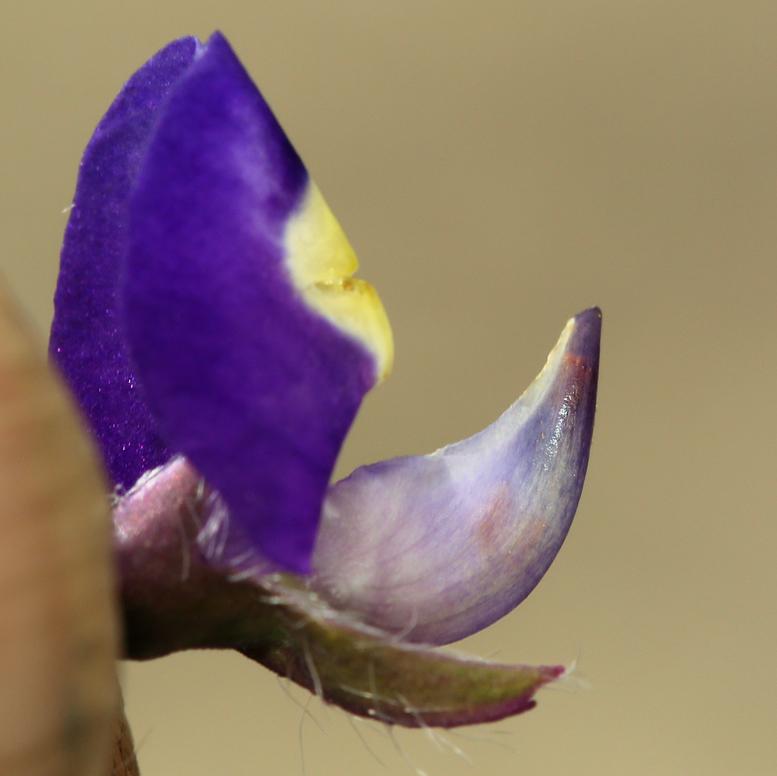 Lupinus flavoculatus