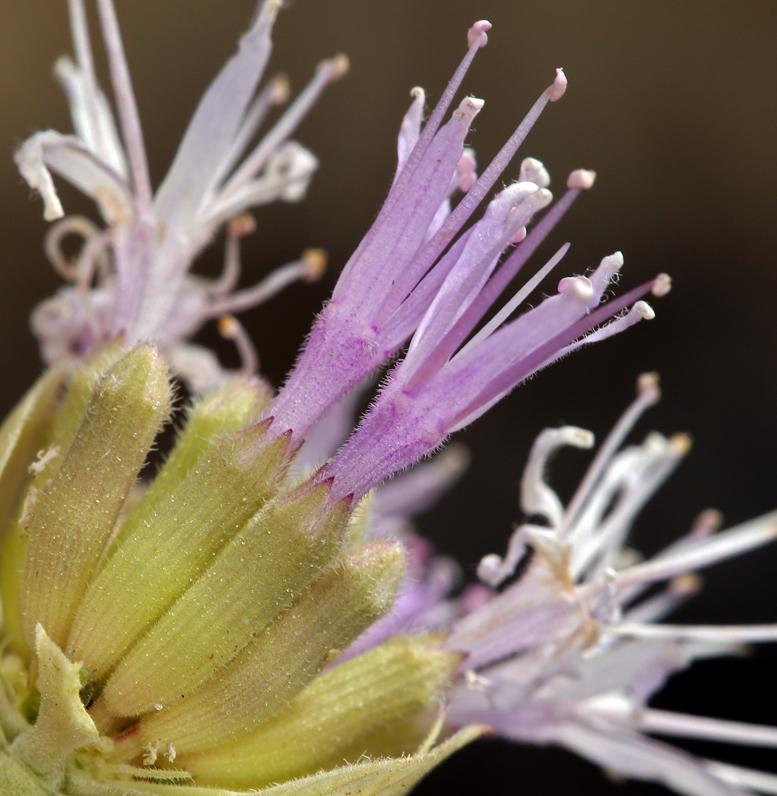 Monardella linoides ssp. sierrae