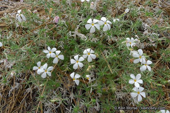 Leptosiphon floribundus