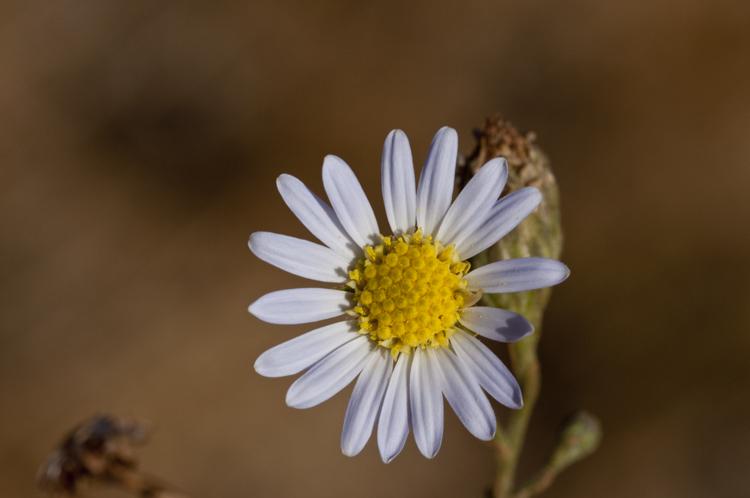 Almutaster pauciflorus