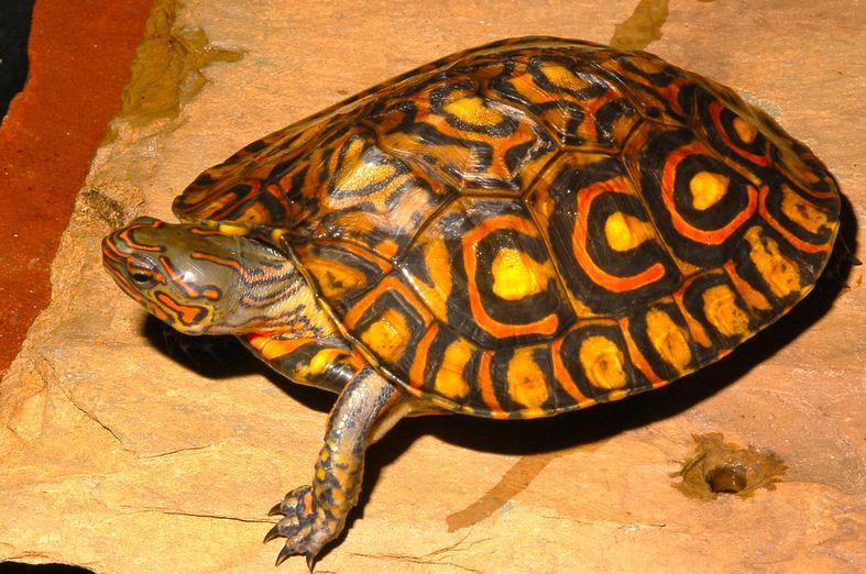 CalPhotos: Rhinoclemmys pulcherrima manni; Ornate Wood Turtle