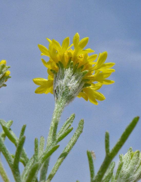 Chaenactis glabriuscula var. glabriuscula