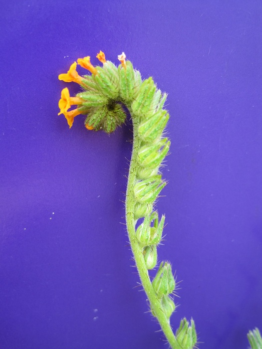 Amsinckia lycopsoides