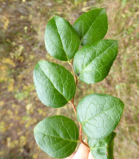 Gaultheria ovatifolia