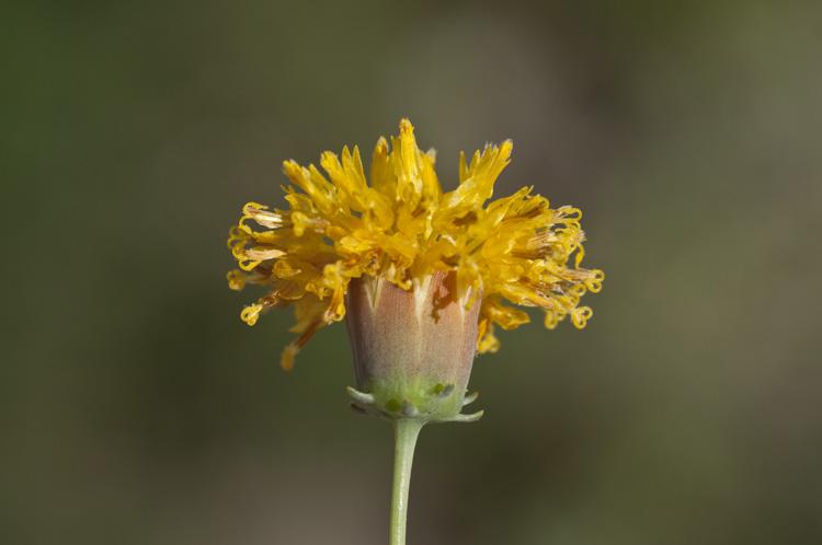 Thelesperma megapotamicum