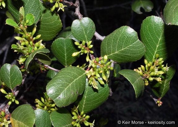 Rhamnus ilicifolia