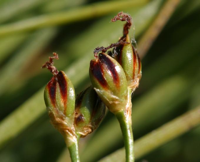 Juncus gerardi ssp. gerardi