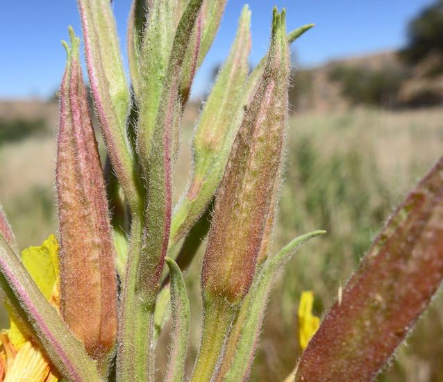 Oenothera elata ssp. hirsutissima