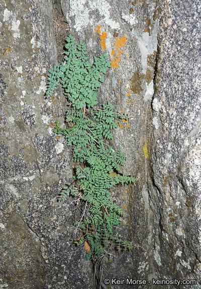 Pellaea mucronata var. californica