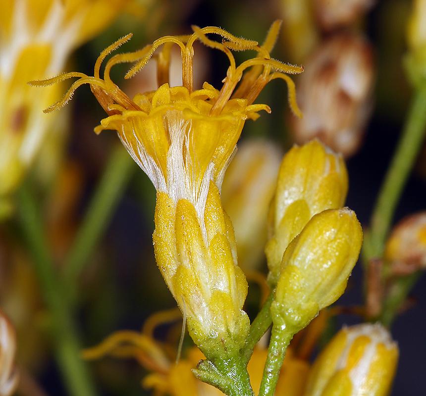 Ericameria paniculata