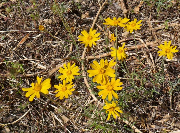 Eriophyllum lanatum var. grandiflorum