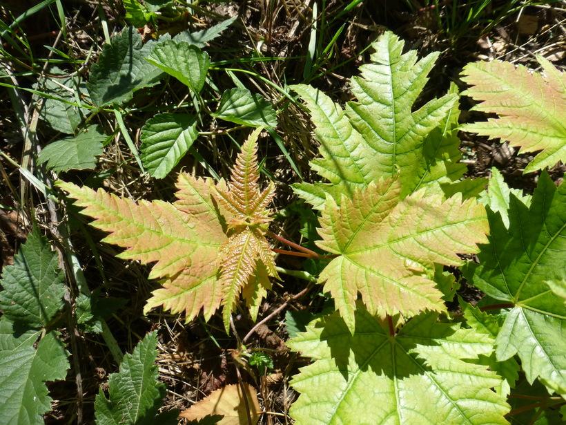 Calphotos Acer Argutum