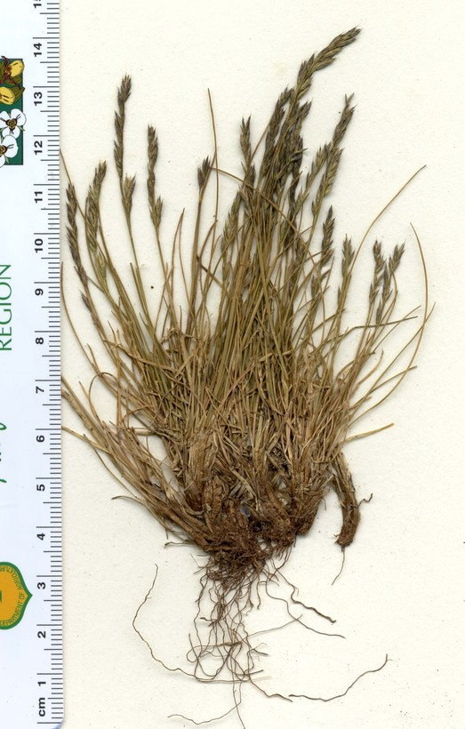 Festuca brachyphylla ssp. breviculmis