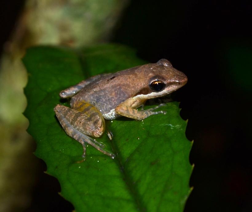 Früsche aus Madagaskar CalPhotos: Blommersia sarotra; Sarotra Leaping Frog