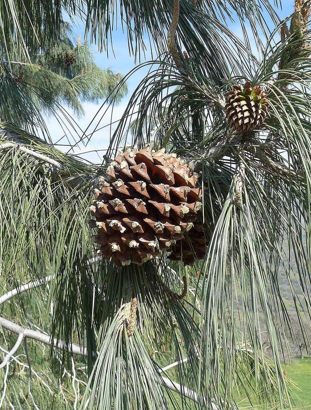 Pinus sabiniana