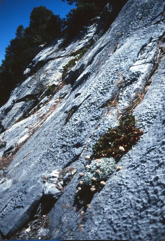 Eriogonum ovalifolium var. monarchense