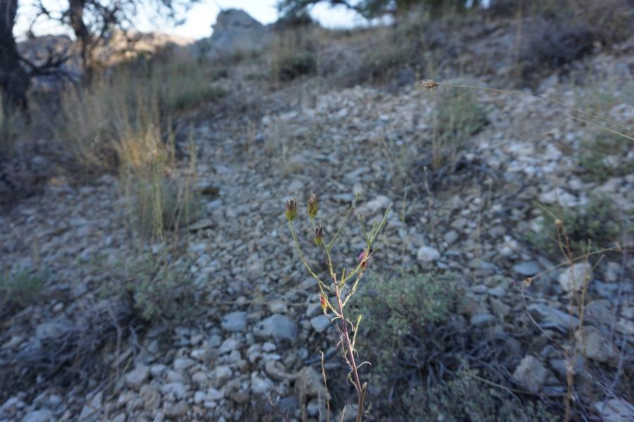 Cordylanthus eremicus ssp. eremicus
