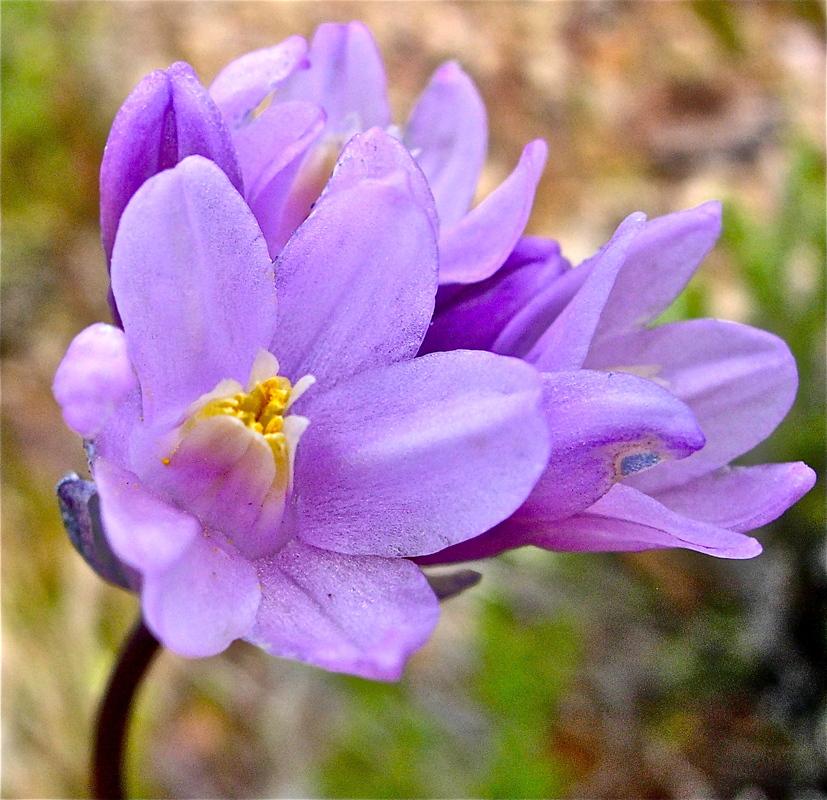 Dipterostemon capitatus ssp. pauciflorus