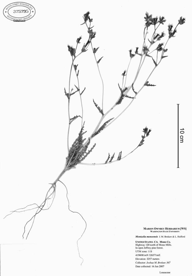 Mentzelia monoensis