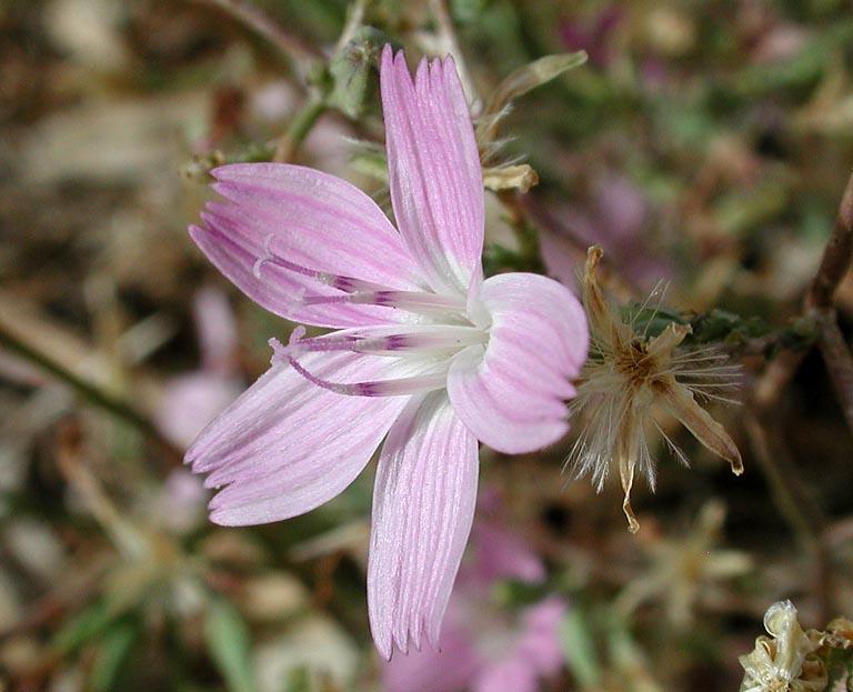 Stephanomeria pauciflora var. pauciflora