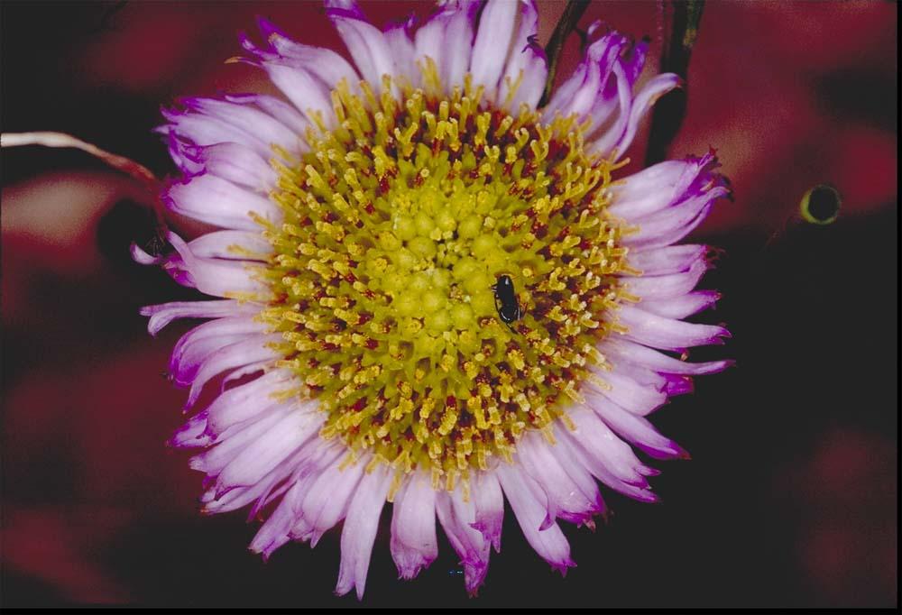 Erigeron sanctarum