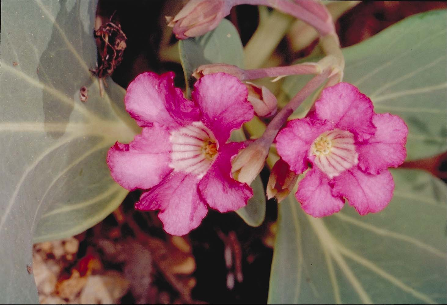 Cycladenia humilis var. humilis