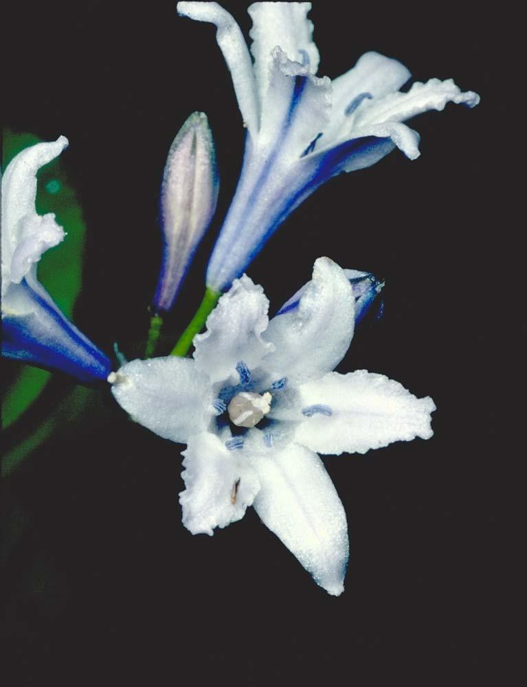 Triteleia crocea var. modesta