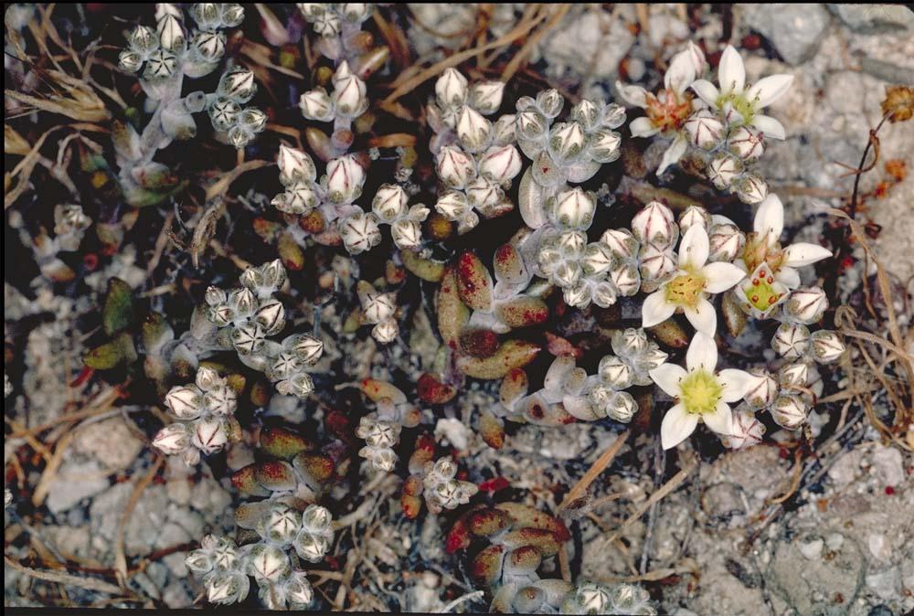 Dudleya blochmaniae ssp. insularis
