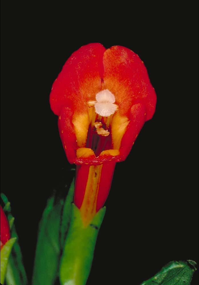 Mimulus aurantiacus var. parviflorus