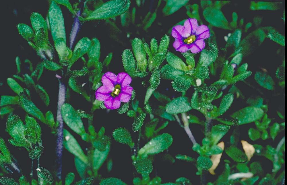Calibrachoa parviflora