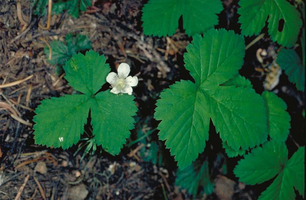 Rubus lasiococcus