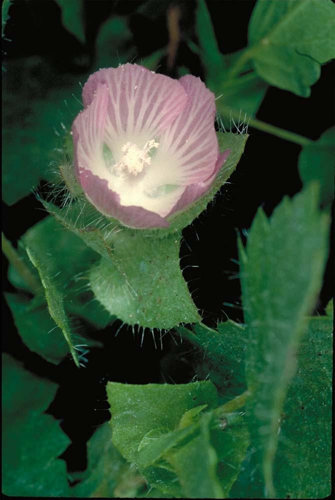 Sidalcea stipularis